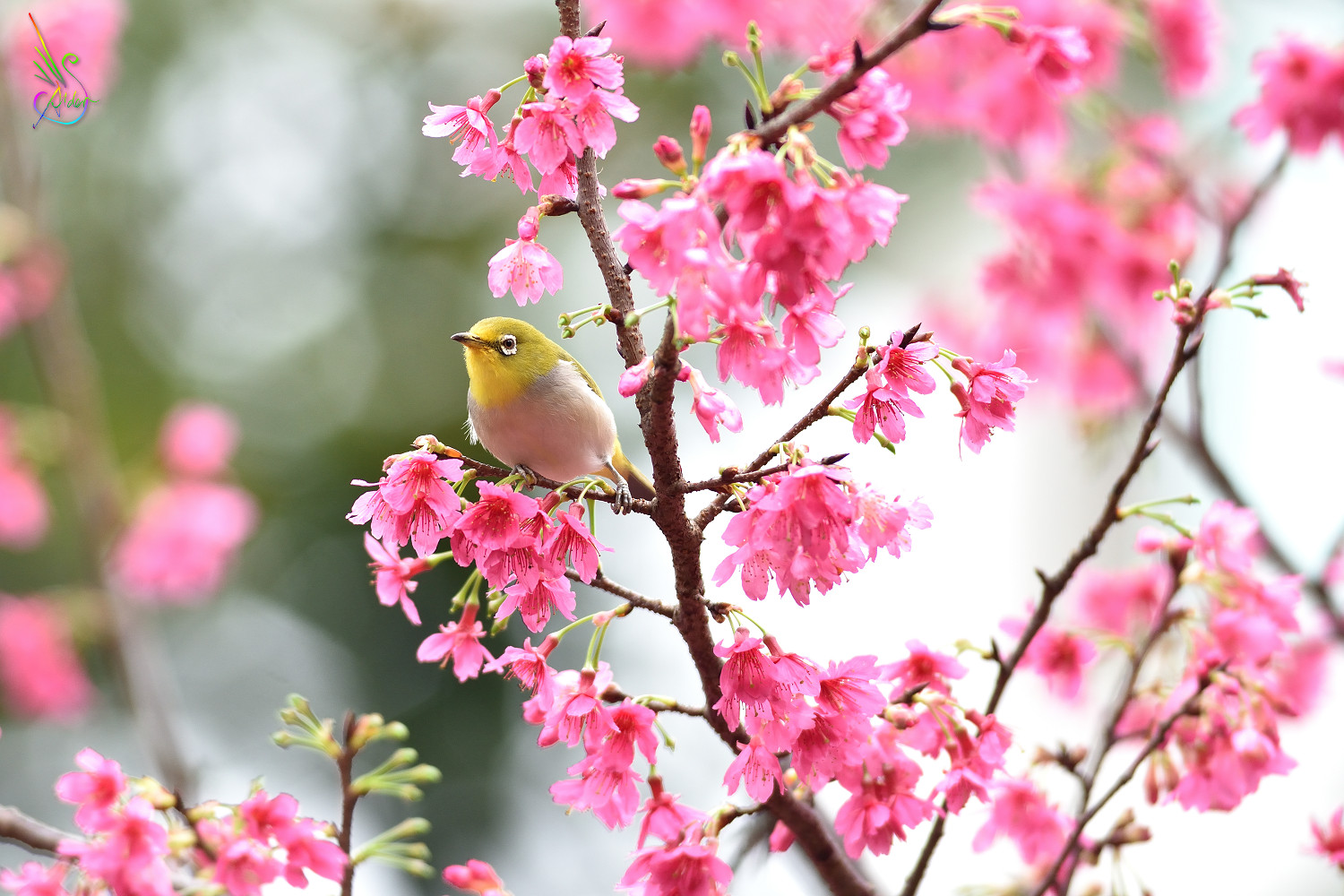 Sakura_White-eye_5163