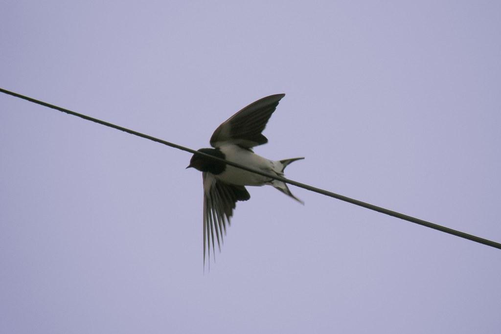 Envol flying off delichon urbica hirondelle de fen tre for Hirondelle de fenetre