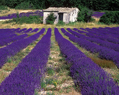 Lavender Field in Provence | by MesmanImages