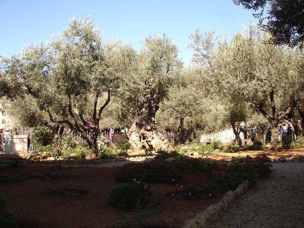 Dsc04557 Garden Of Gethsemane The Garden Of Gethsemane Is Flickr