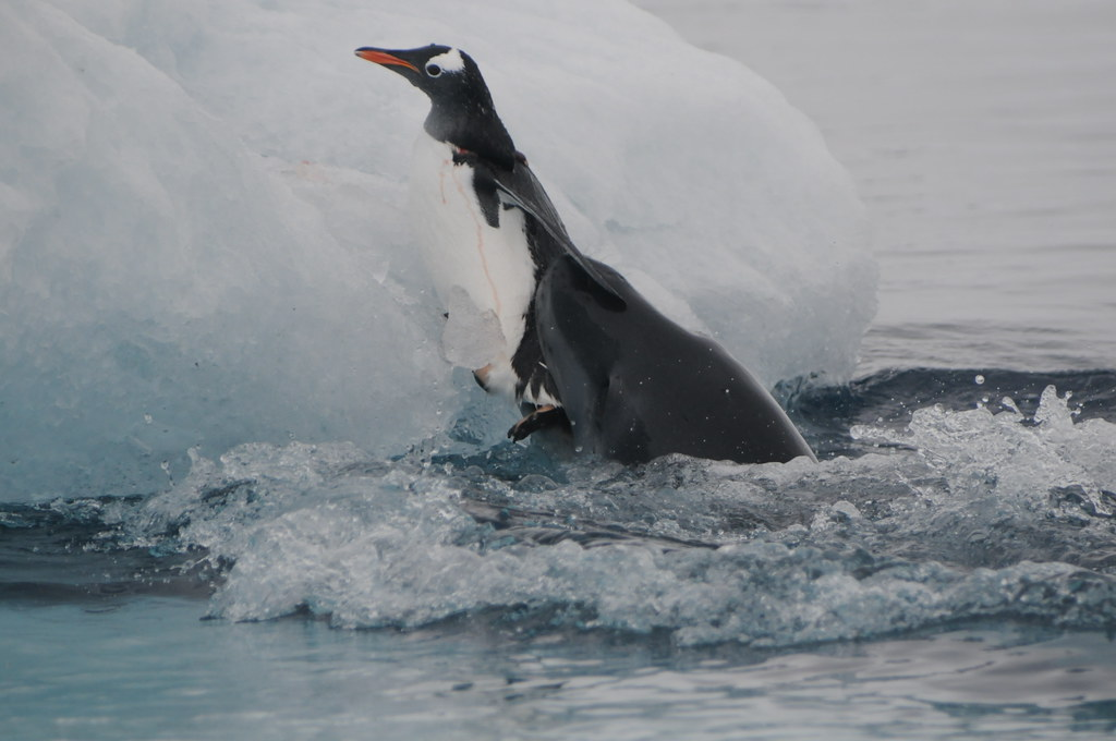 Leopard Seal attacking a Gentoo Penguin | Leopard seal ...