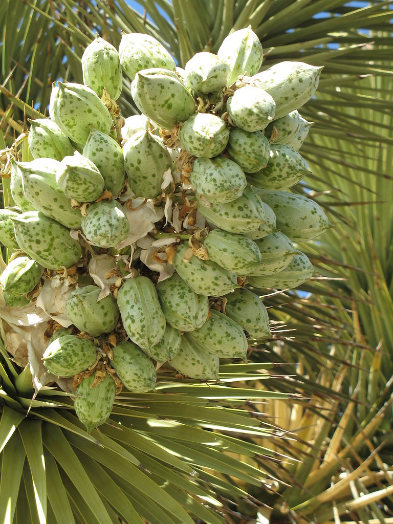 joshua tree seeds how to grow