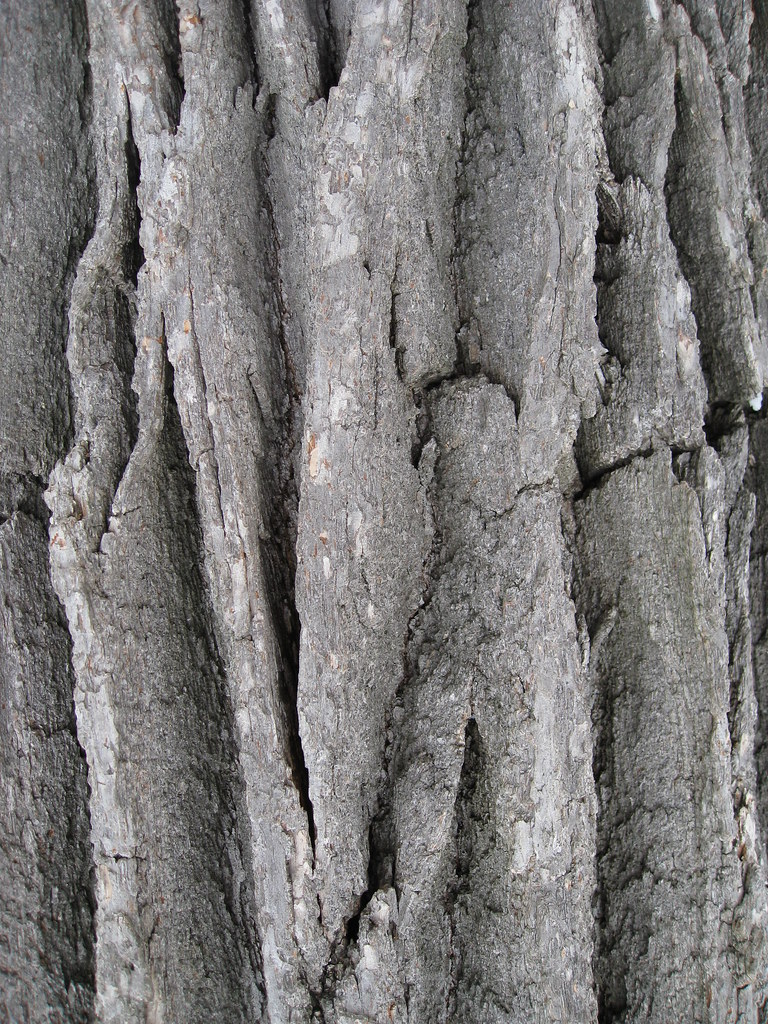 White oak bark benlabenjamin flickr