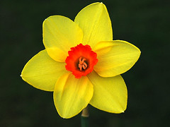 Daffodil !!! | by Joseph Michael