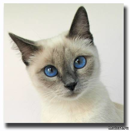 deep blue eyes of siamese cat | welcome to Thai Cat Club ...