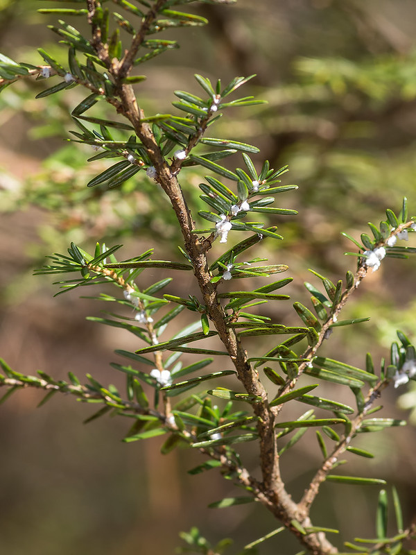 Hemlock infested with Hemlock Wooly Adelgid