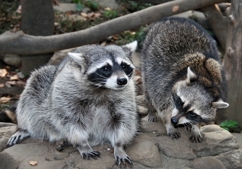 Chit- Chating Racoons | by Adettara Photography
