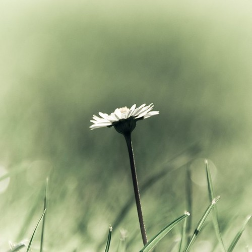 Lonely daisy | by Gregory Bastien