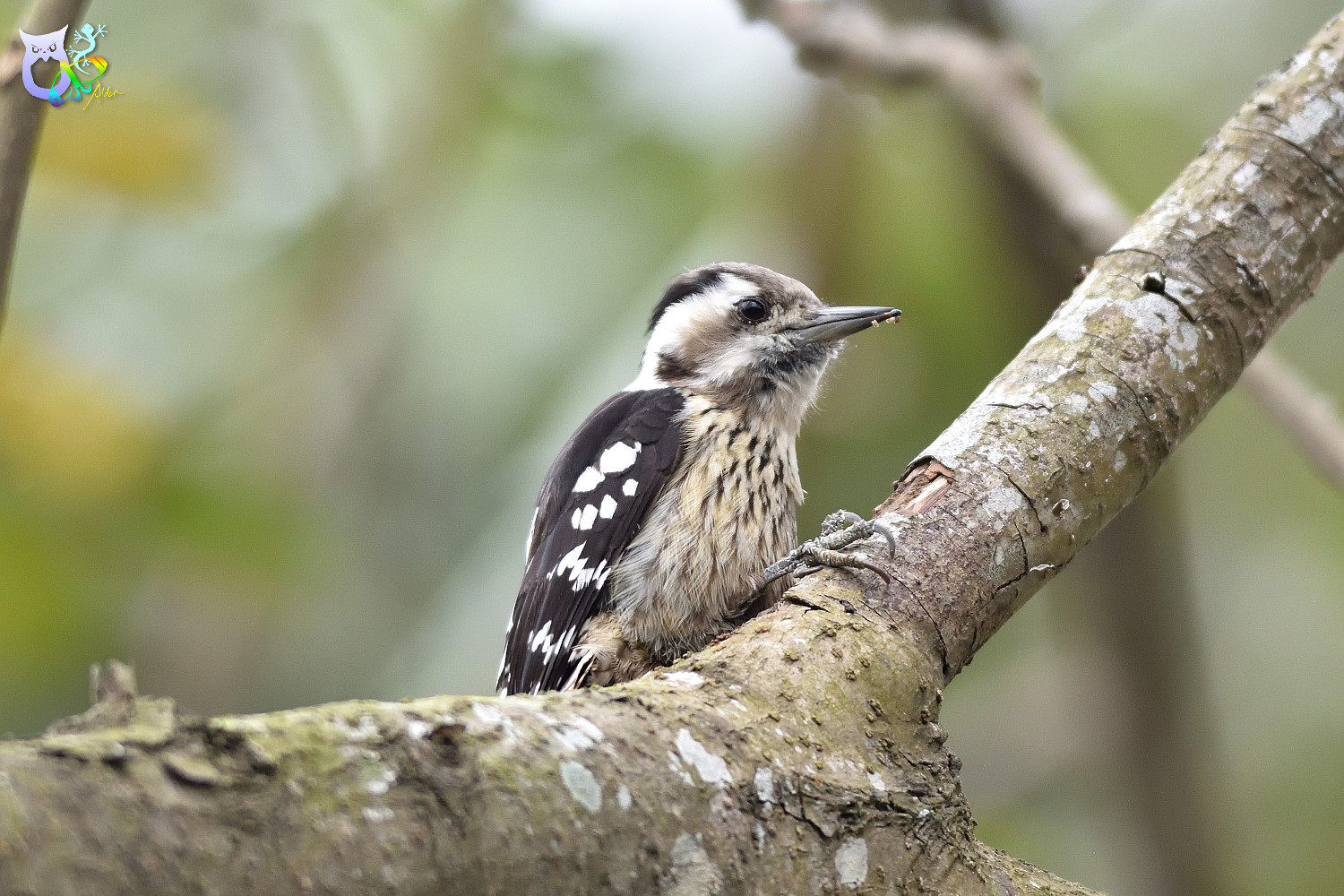 Grey-headed Pygmy Woodpecker_0131