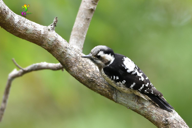 Grey-headed Pygmy Woodpecker_0551