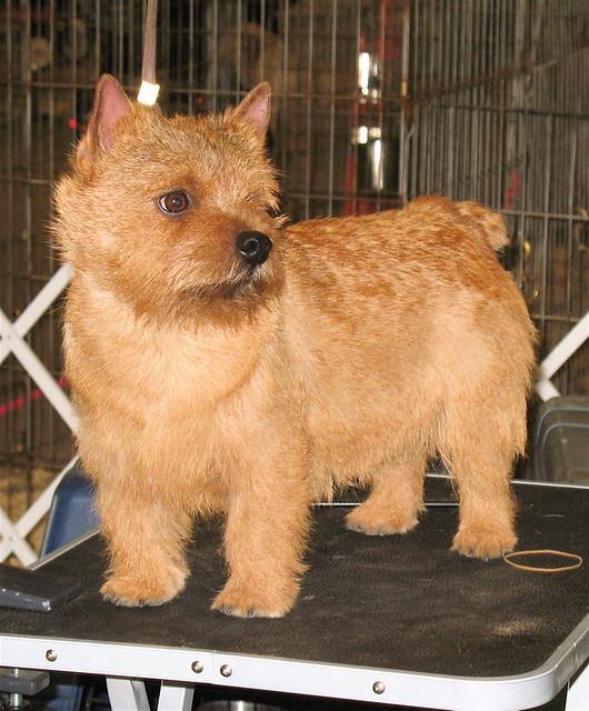 Norwich Terrier | Norw...
