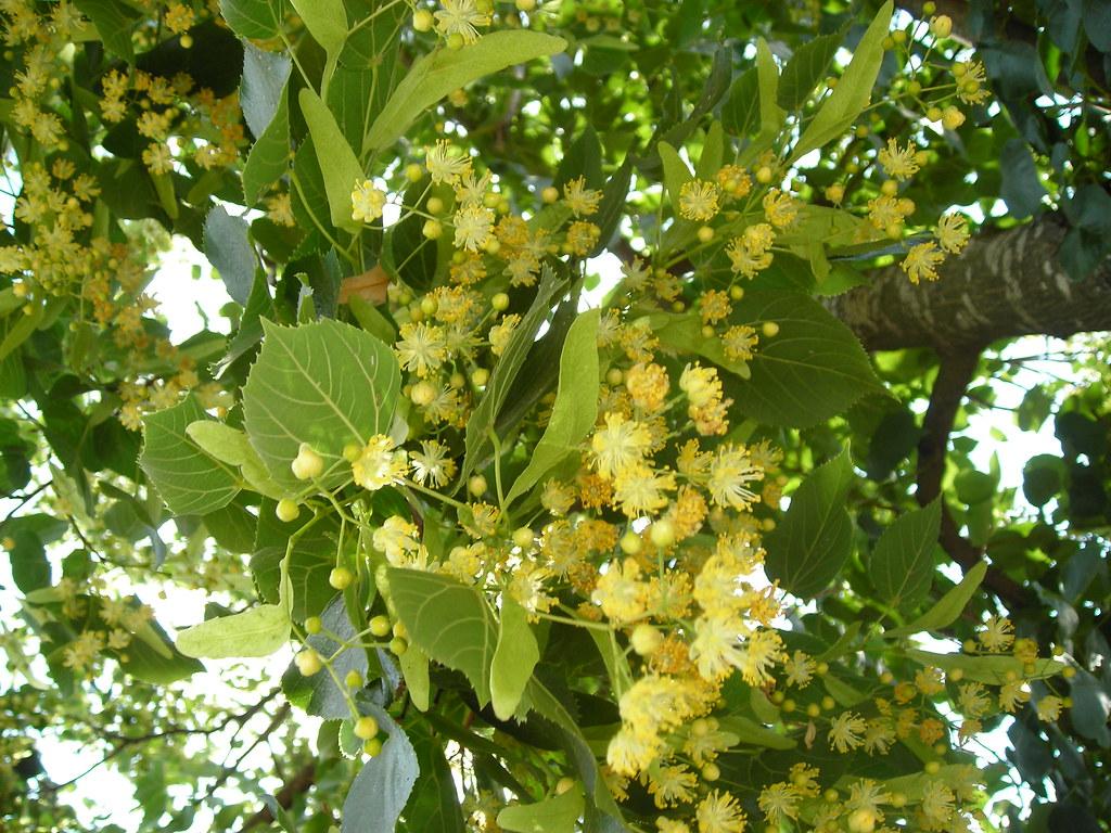 Tilo comun tillia platyphillos broad live lime spain for Arbol comun