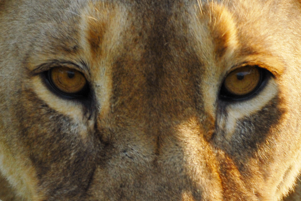 Lions eyes | Greg Bows...
