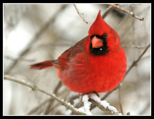 The Snowflake Cardinal | by nature55