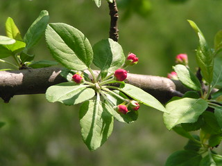 Crabapple buds | by NanciD