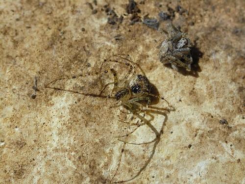 Pirate Spider Pirate spider (mimetus notius)