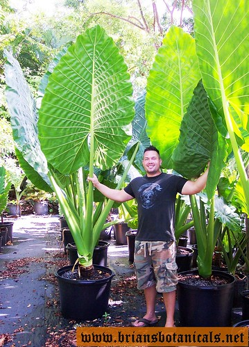 Alocasia Borneo Giant 3 Brian Williams Flickr