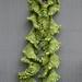 sea lettuce B 111607
