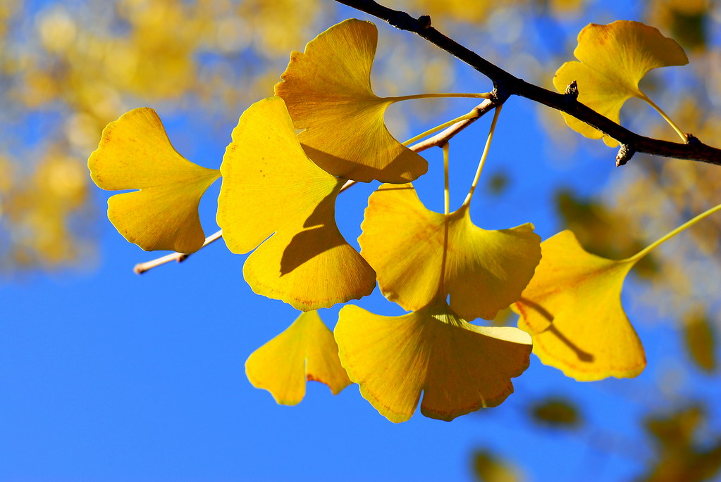 Ginkgo Leafs 银杏树 Ginkgo Deciduous Tree With Fan