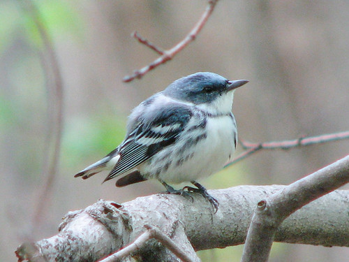 Cerulean Warbler in Silver Maple swamp | by Petroglyph