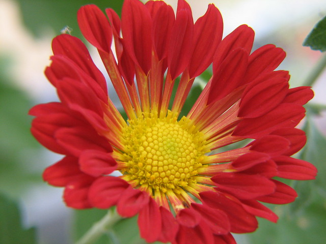 spoon chrysanthemum flickr photo sharing
