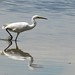 Little Egret strut!