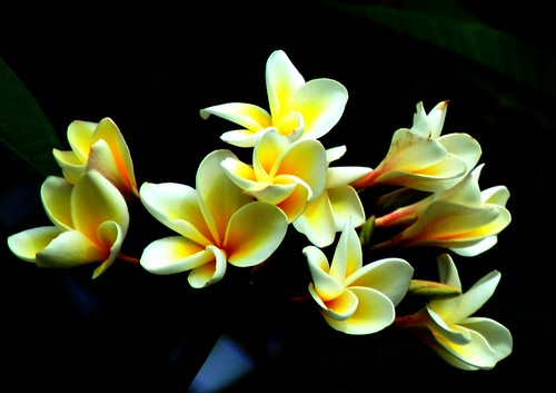 Frangipani(cropped) | by Swami Stream