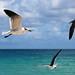 Seagulls ballet