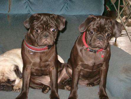 Chocolate brown pugs for sale
