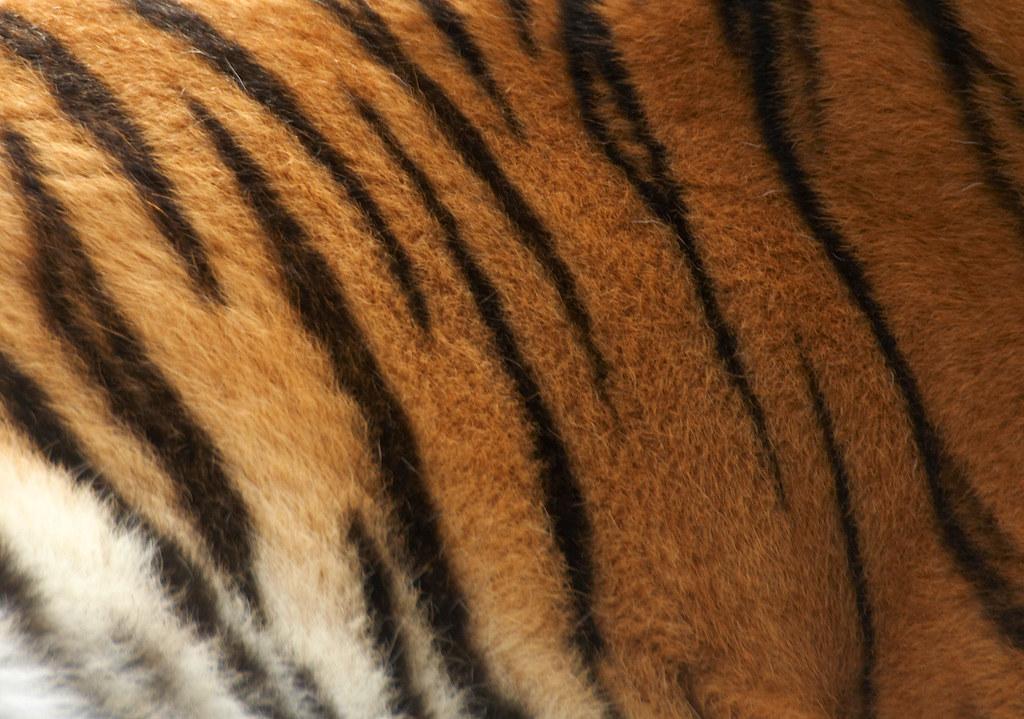 Tiger Pattern Darren Hunt Flickr Delectable Tiger Pattern