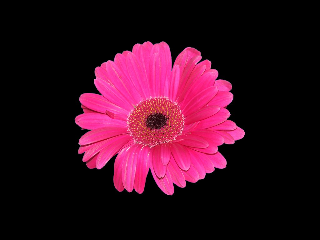 Pink Gerbera Stock Available For Use In Your