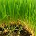 Wheat Grass .