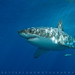 Great White Shark Close #1 - Guadalupe Island, Mexico