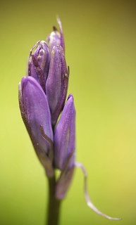 Bluebell | by Dreamflux Photography