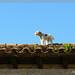 El gos sobre el teulat