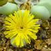 Argyroderma ringens flower