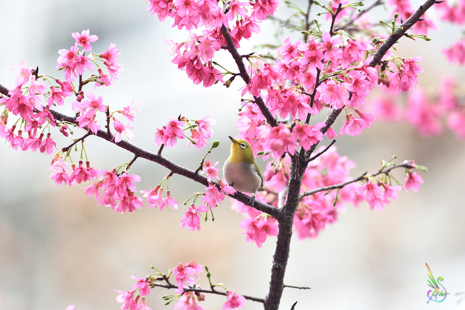 Sakura_White-eye_5296