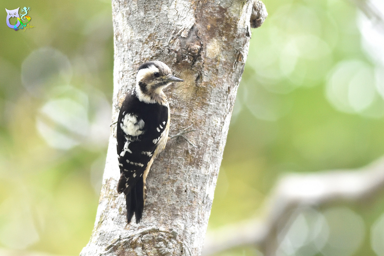 Grey-headed Pygmy Woodpecker_0223
