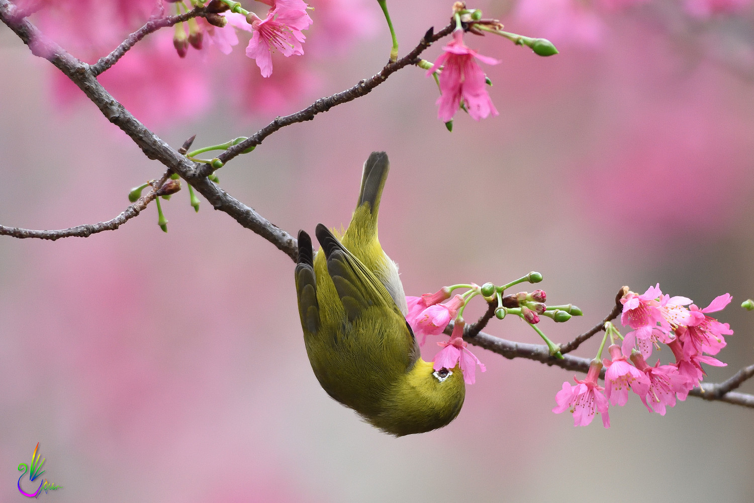 Sakura_White-eye_6269