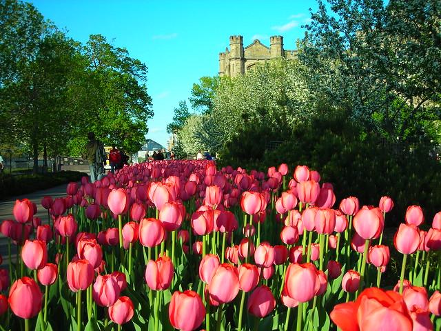 Ottawa - tulipes
