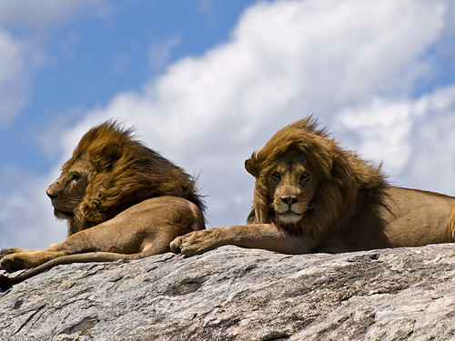 Male Lions on Rock | by wwarby