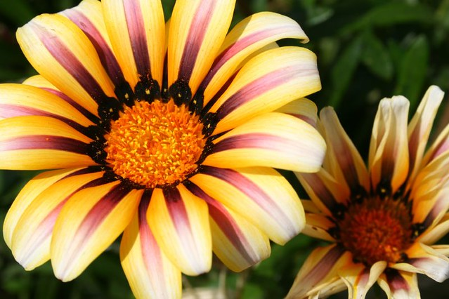 Striped Flower | Did somebody paint these? | Renee ...