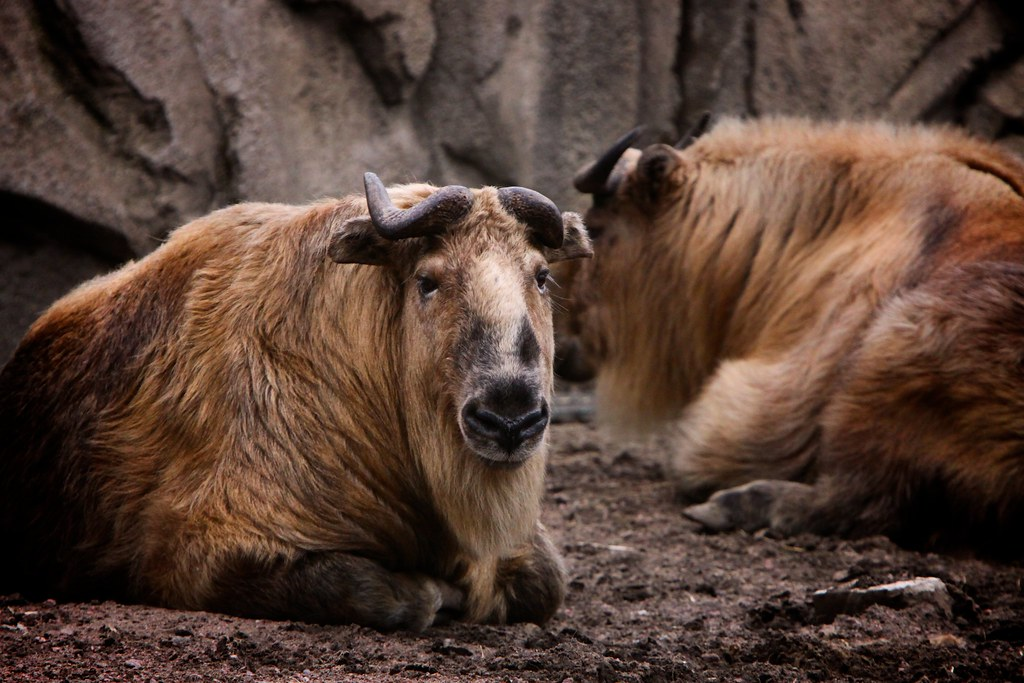 Giant Goat Giant Goat | by