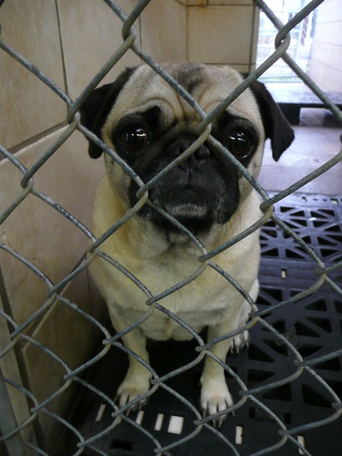 Pug at a Houston Animal Shelter | wingless | Flickr