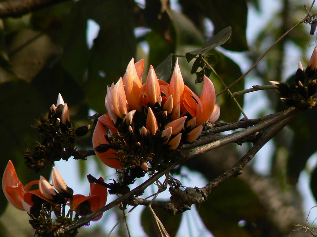 Palas (Marathi: पळस) | Palash (Hindi: पलाश) is the State ... Palash Flower In Hindi