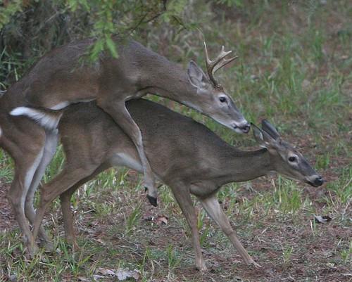 Deer Mating | Dennis Adair | Flickr