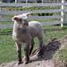 Southdown lamb