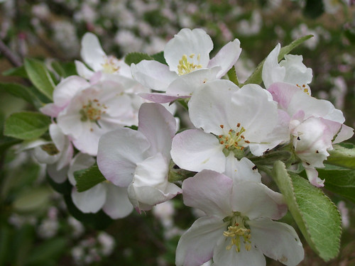apple blossoms | by Jerub Baal