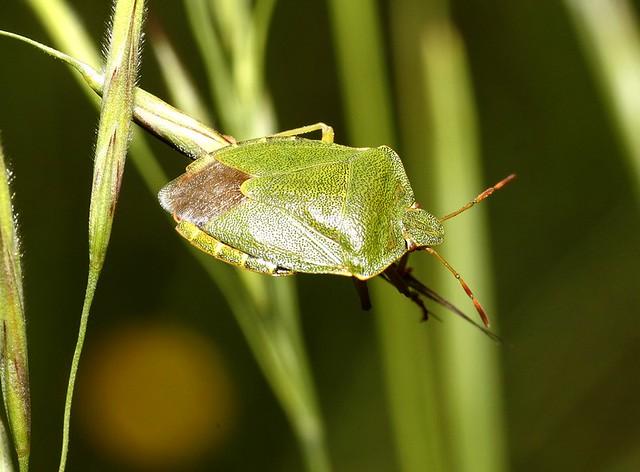 Punaise verte des bois (Palomena prasina) Une ravageuse de u2026 Flickr