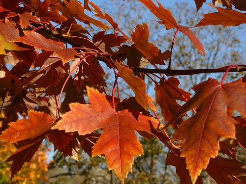 The Flamboyant Maple | by Connie Krejci